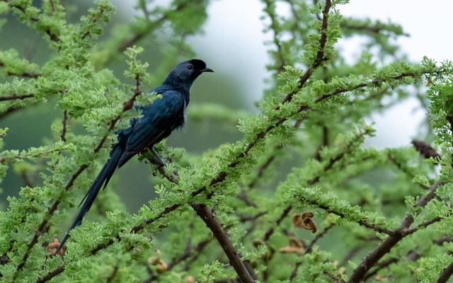 Bristle-crowned Starlingi, Onychognathus salvadorii