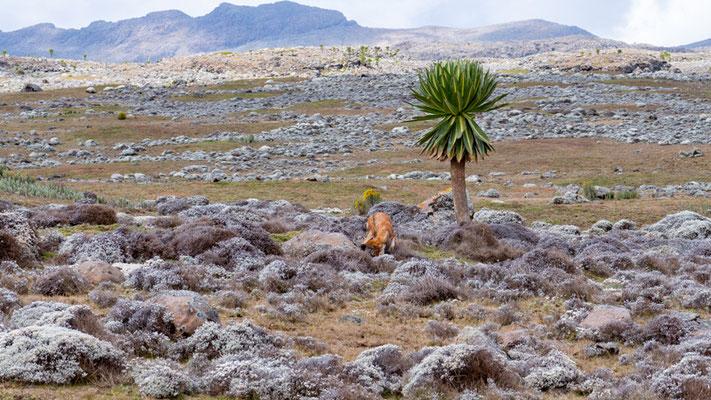 Paysage du plateau de Sanetti avec les deus stars du coin: Le loup et le Lobelia