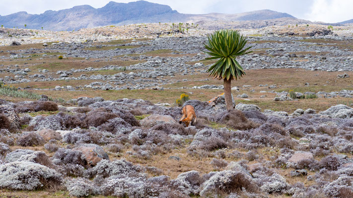 Landscape of the Sanetti plateau with the two stars of the area: the wolf and the Lobelia