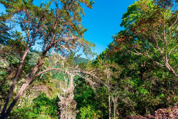 Forêt tropicale composée en majorité de chênes (genre Quercus)