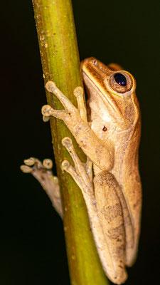 Veragua cross-banded tree frog , Smilisca sordida