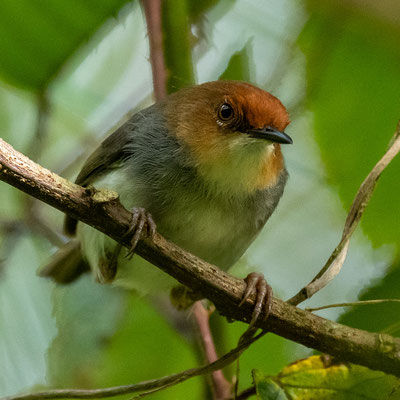 Red-capped Forest Warbler,  Artisornis metopias