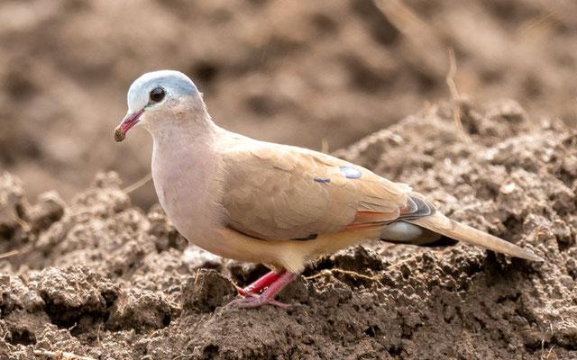 Blue-spotted Wood Dove, Turtur afer