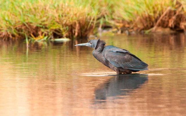 Black Heron, Egretta ardesiaca