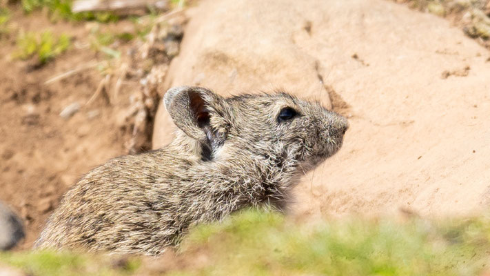 Arvicanthis abyssinicus, rodent. Endemic