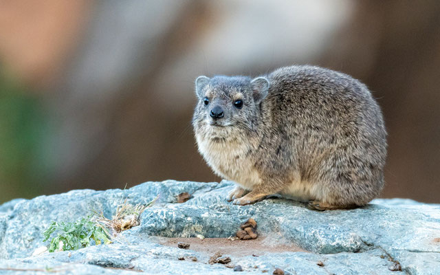 Le Daman du Cap ou Daman des rochers (Procavia capensis)
