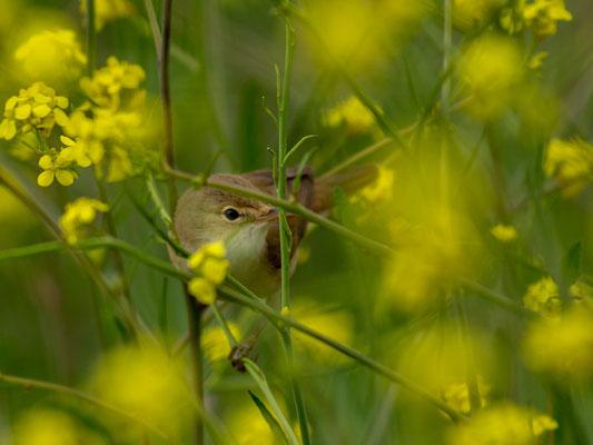 Eurasian Reed Warbler, Acrocephalus scirpaceus