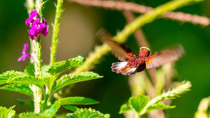Snowcap, Microchera albocoronata. Beautiful Hummingbird spotted only here