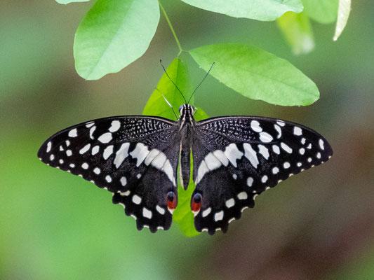 Lépidoptère indéterminé, du genre Papilio