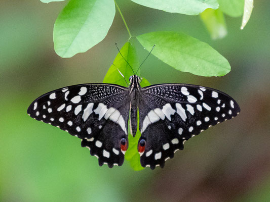 Voilier des citronniers, Papilio demodocus
