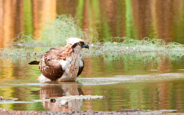 Balbuzard pêcheur, Pandion haliaetus