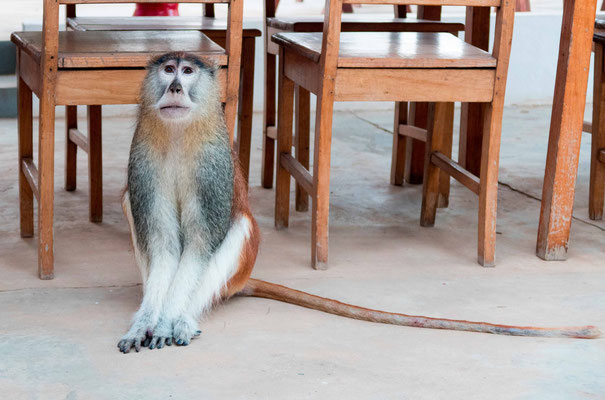 Patas monkey, Erythrocebus patas called boubou the breakfast friend