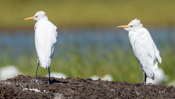 Héron garde-bœuf, Bubulcus ibis. Lac Chelekleka