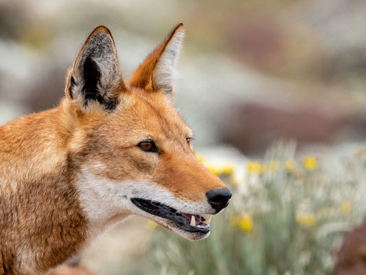 Loup d'Abyssinie, Canis simenso. Portrait