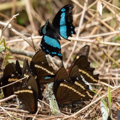 Broad green-banded swallowtail, Papilio chrapkowskii