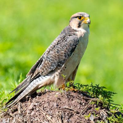 Lanner Falcon, Falco biarmicus, male.