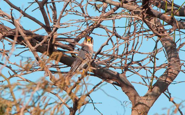 Red-necked Falcon, Falco chicquera