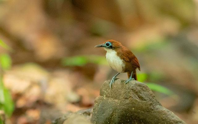 Bicolored Antbird, Gymnopithys bicolor, Carara NP