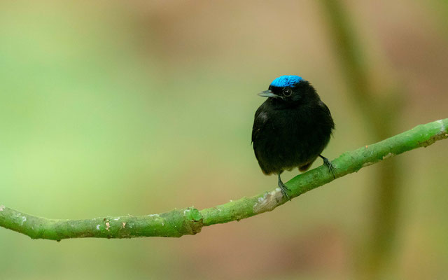 Manakin à tête bleue, Lepidothrix coronata, PN de Carara