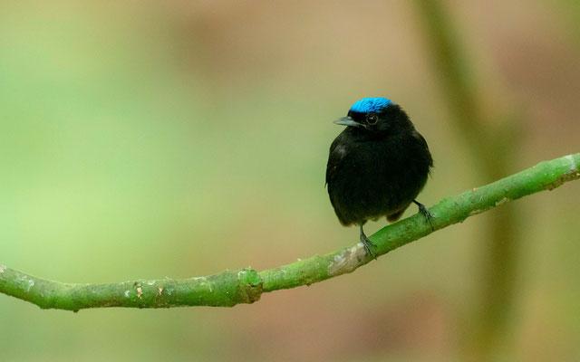 Blue-crowned Manakin, Lepidothrix coronata, Carara NP