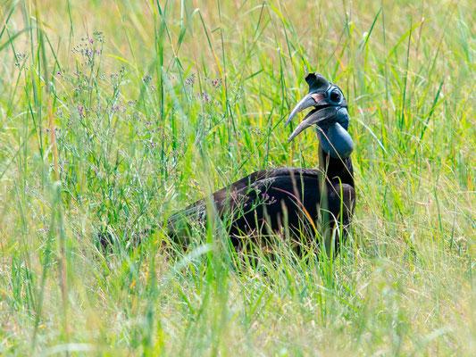 Abyssinian Ground Hornbill female , Bucorvus abyssinicus