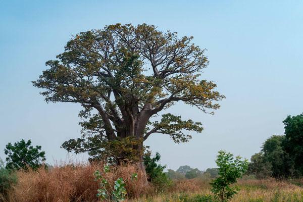 Baobab africain, Adansonia digitata dans la savane autour de Fagaru