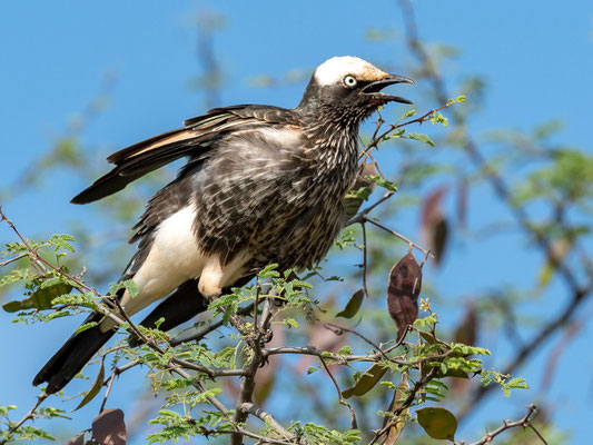 White-crowned Starling, Lamprotornis albicapillus
