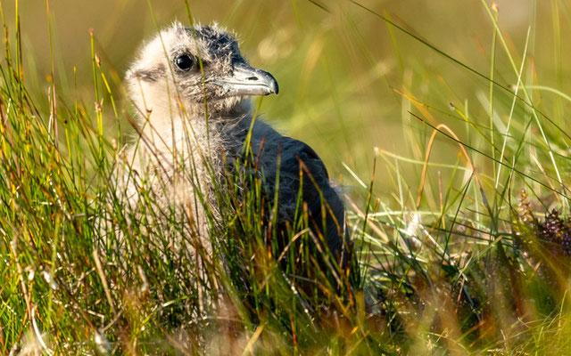 Poussin du Grand Labbe, Stercorarius skua. Au bord du chemin, espèce vraiment pas farouche.