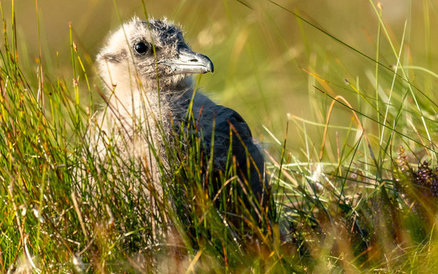 Great Skua chick, Stercorarius skua. At the side of the road, a really not shy species
