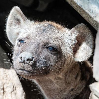 Hyène tachetée, Crocuta crocuta. Installée juste sous le restaurant des rangers du Parc! Comme quoi, lorsque les animaux ne sont pas persécutés...