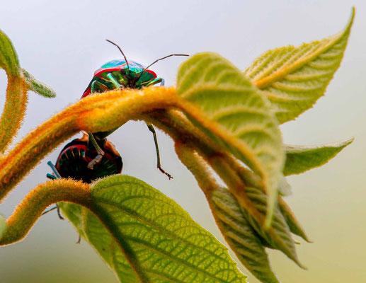 Undefined beetle