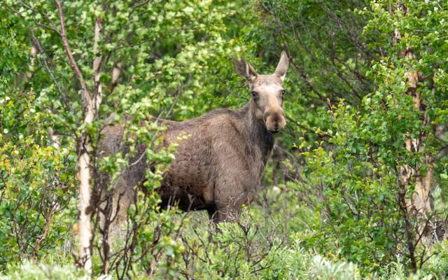 Another Elk, Alces alces