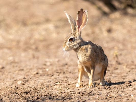 Abyssinian hare, Lepus habessinicus. Around Doho lodge