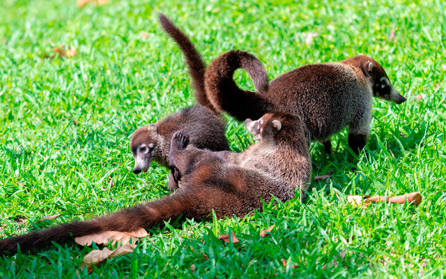 Coati à nez blanc, Nasua narica. Jeux en famille