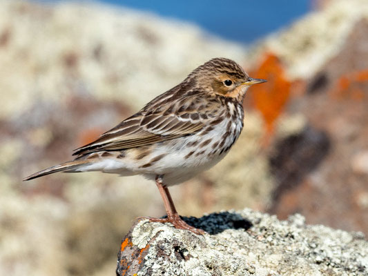 Red-throated Pipit,  Anthus cervinus. Wintering from the tundra.
