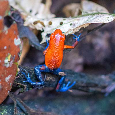 Strawberry poison frog , Oophaga pumilio