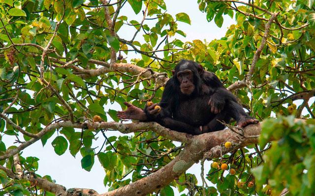 Chimpanzee , Pan troglodytes