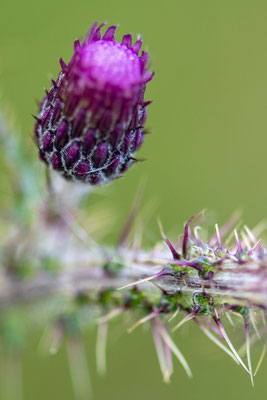 Cirsium palustre, Marsh thistle