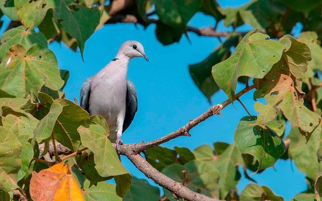 Vinaceous Dove , Streptopelia vinacea