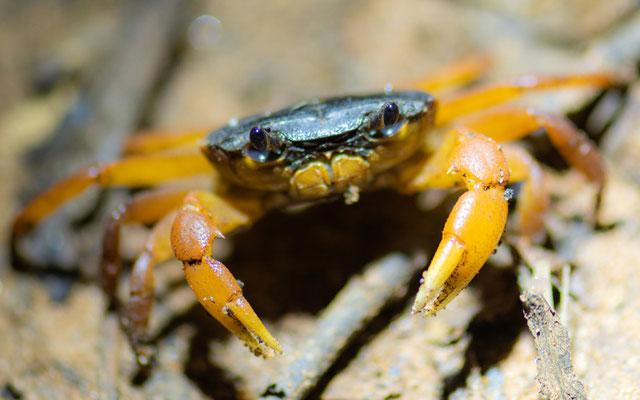 Freshwater crab, Potamonautes sp