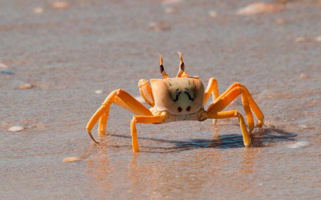 Crabe sp.