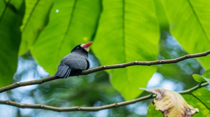 White-fronted Nunbird , Monasa morphoeus