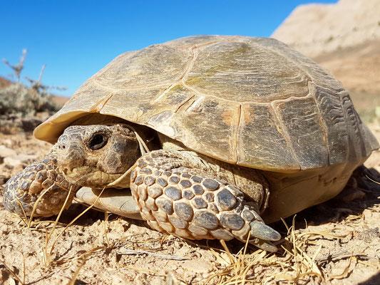 Russian tortoise ,estudo horsfieldii . Golestan, Iran, may 2017