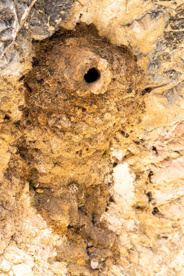 Nest of Western rock nuthatch, Sitta neumayer
