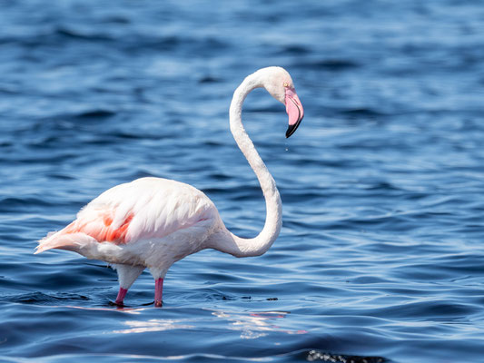 Greater Flamingo,  Phoenicopterus roseus. Abijatta-Shalla National Park