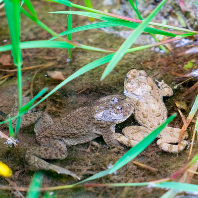 Yellow-bellied toad, Bombina variegata