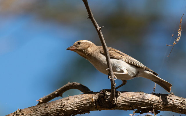 Sahel Bush Sparrow, Gymnoris dentata