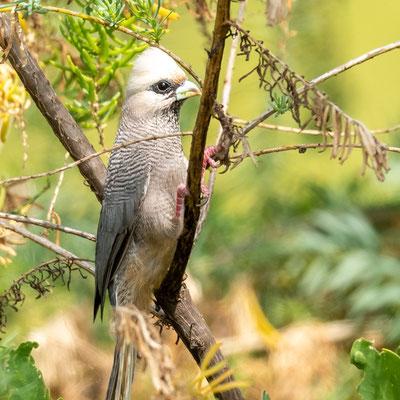 Coliou à tête blanche, Colius leucocephalus. Espèce extrêmement rare en Tanzanie.  Hors du Parc, au Nyumba ya Mungu Reservoir.