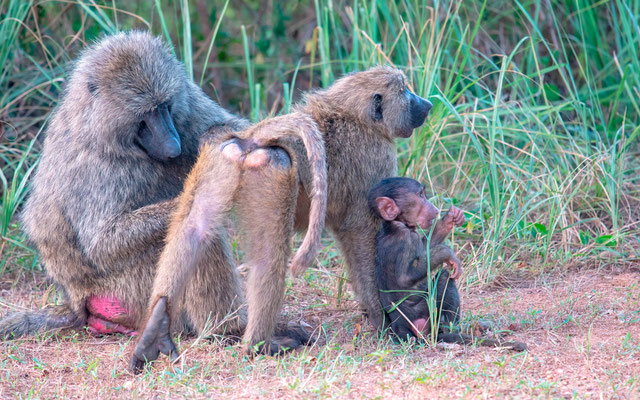 Family of Olive Baboon, Papio anubis