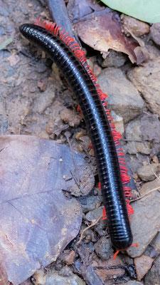 Myriapoda, Pachybolidae family